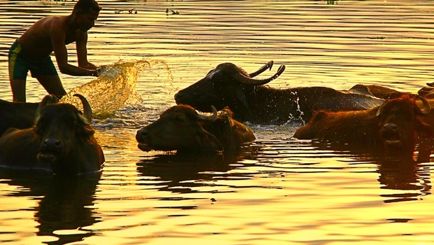 bull in vaigai river jpg