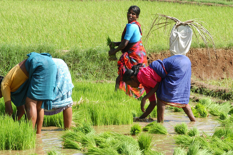 river rice planting